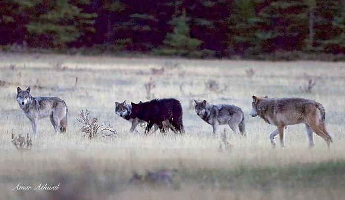 A Visit From The Wolf Pack