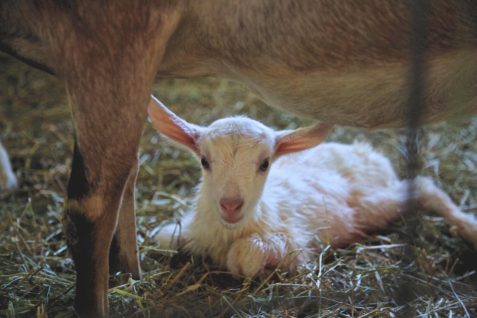 Behind The Menu: Fairwinds Farm Goat Cheese